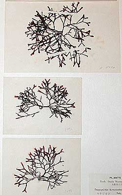Seaweed specimens collected by Mr. Torao Yamamoto