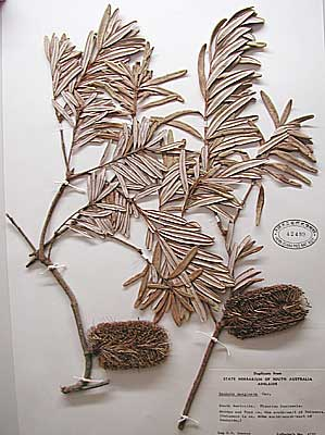 Plant specimens from Adelaide, Australia