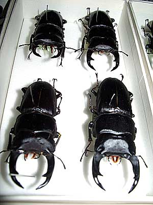 Beetle and butterfly collection by Mr. Genryo Nakata