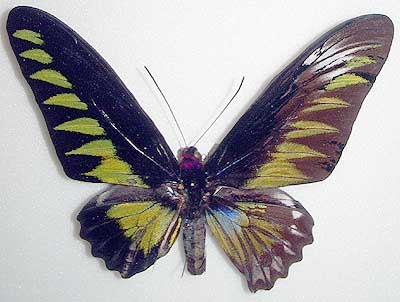 Butterflies collected by Prof. Kaoru Sumiyoshi