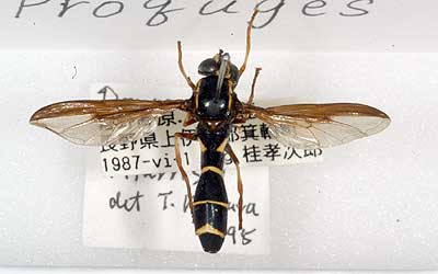 Teruo Kimura Diptera collection