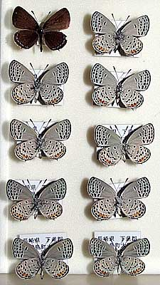 Butterfly collection by Mr. Yoshiaki Syouji
