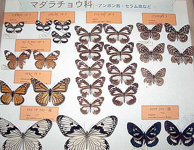 Butterfly collection by Mr. Shinichiro Katoh
