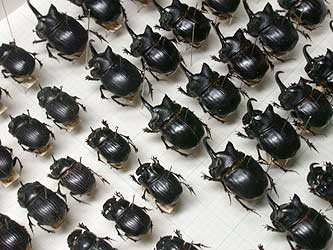 Beetle collection by Mr. Mitsuo Goto