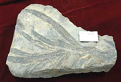 Fossil of Archaeozostera collected by Professor Shigeru Miki