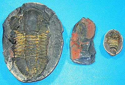 Fossil specimens from Bolivia collected by TOTARO OHNO